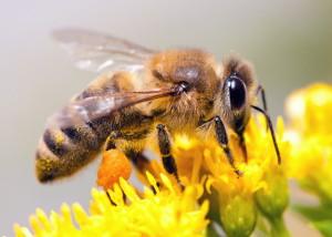 Biene-auf-Blume-2